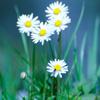 Jigsaw: Cool Flowers
