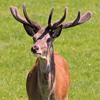 Jigsaw: Deer Stag